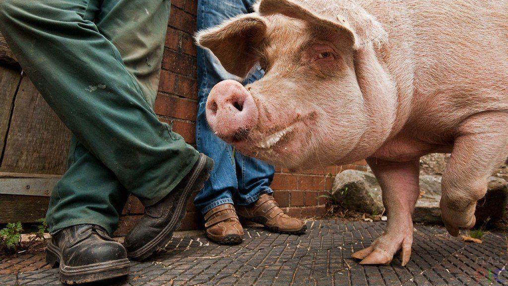 Прикольных, картинки про свинью прикольные