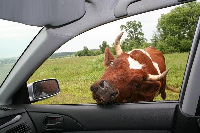 ВКЧР преступники затолкали украденную корову всалон автомобиля
