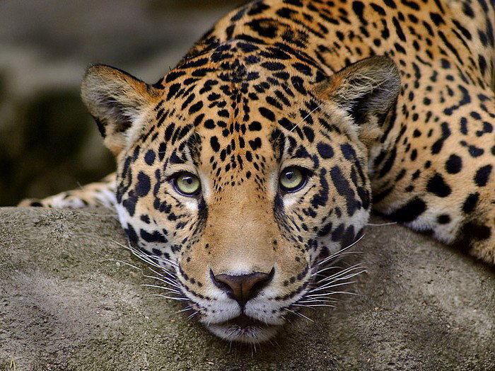 Камеры наблюдения зафиксировали леопарда вгорах Осетии