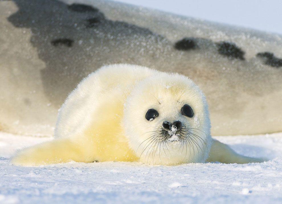 Граждане Дагестана несмогли спасти тюлененка, найденного наберегу Каспийского моря